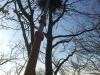 Sådan nedtages en rågerede uden at skade træ og omgivelser. Nedtagning af rågerede i Odense.