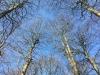 Christian klatrer mellem to træer. Fjernelse af rågerede i Østjylland. Træklatring. Dich Træpleje aps