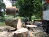 Fældning af bøgetræ
