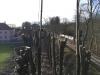 Beskæring af gammel lindeallé i Østjylland. Dich Træpleje aps