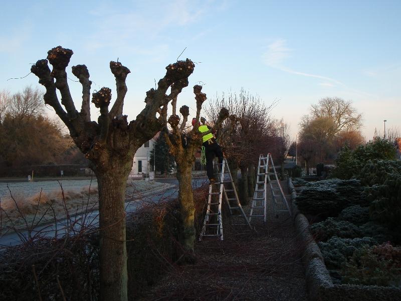 Opstamning af lindetræer