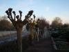Knudebeskæring. Beskæring af linde træ på kirkegård i kanten af Aarhus Østjylland