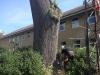 Fældning af poppel træ i Aarhus Østjylland. ETW certificeret træfældning.