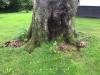 Kæmpeporesvamp (Meripilus giganteus). Meget agressiv vednedbrydende svamp. Nedbryder de bærende rødder på løvtræer. Ses ofte på gamle bøgetræer.