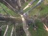 Montering af nedfiring. Træfældning nedfiring af effekter. Fældning af stort bøgetræ med råd kæmpeporesvamp i rødderne. Det store træ var til fare for sine omgivelser og skulle fældes hurtigst muligt. Træfældning Aarhus. Træfældning Østjylland. Fældning af vanskelige træer i Aarhus Østjylland. Dich Træpleje aps