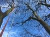 Fældning af stort bøgetræ med råd kæmpeporesvamp i rødderne. Det store træ var til fare for sine omgivelser og skulle fældes hurtigst muligt. Træfældning Aarhus. Træfældning Østjylland. Fældning af vanskelige træer i Aarhus Østjylland. Dich Træpleje aps. Brug af x-rigging rings i Aarhus Østjylland til træfældning.