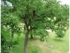 Beskæring af egetræ Juni 2012