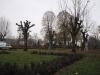 Knudebeskæring af aske træer på kirkegård i Østjylland, Aarhus, Århus. Beskæring af asketræer.