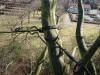 Kronestabilisering af gammelt bøgetræ i præstegård