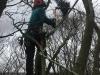 Nedtagning fjernelse af rågereder i Aarhus Århus Østjylland. Dich Træpleje aps