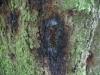Bøgstamme med tjærepletter positiv for Phytophthora Sjælland, 2012