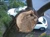 Restaurering af topkappet træ i Aarhus