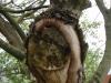 Restaurering af topkappet træ