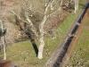 Sikkerhedsbeskæring af toptørt egetræ i Jylland. Dich Træpleje aps. Certificeret European Treeworker.