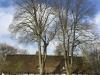 Kroneløft på to smukke lindetræer ved en lige så smuk bygning.