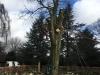Fældning af gammel bøg med kæmpeporesvamp på kirkegård i Århus Aarhus.