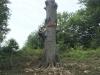 Fældning af træ ved fiskerhuset