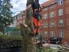 Fældning af træ i Århus