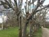 Stabilisering af gammelt lindetræ i Gammel Estrup slotspark.