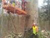 Fældning af stor gammel bøg angrebet af kulsvamp. Dich Træpleje aps. ETW certificeret træpleje i Aarhus.