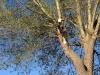 Nedtagning af stormskadet poppeltræ. Dich Træpleje aps. ETW certificeret træpleje i Aarhus.