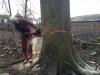 Fældning af gammelt bøgetræ angrebet af kulsvamp. Dich Træpleje aps. ETW certificeret træpleje i Aarhus.
