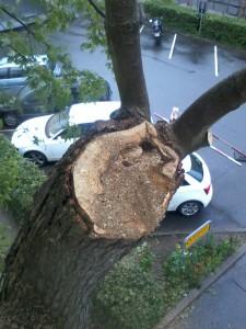 Resultatet af en topkapning. Træet er kraftigt angrebet af råd og de kraftigt voksende vanris hæfter meget yderligt på stammen - i modsætningen til en naturlig sidegren. Dich Træpleje aps.