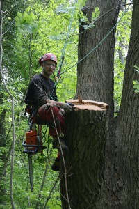 Fældning af egetræ