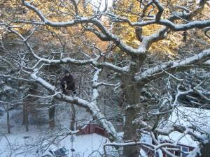 Stephen udfører kronepleje i en gammel eg. Sikkerhedsbeskæring af egetræ over børnehave i Aarhus.