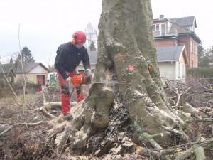 Fældning af bøgetræ med kulsvamp