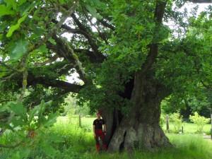 Bolleregen - et af de største egetræer i Danmark