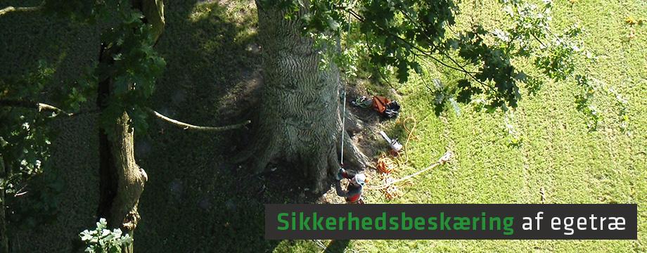 Stephen beskærer gammelt egetræ