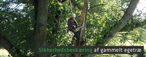 Sikkerhedsbeskæring af gammelt egetræ