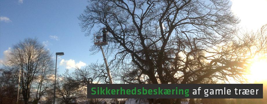 Sikkerhedsbeskæring af gamle træer