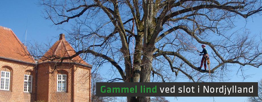 Beskæring af gammel lind ved slot i Nordjylland