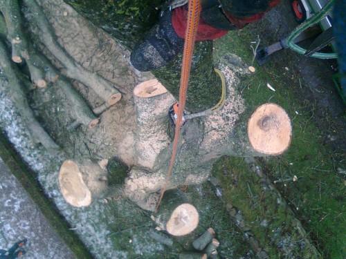 Fældning af døende asketræ