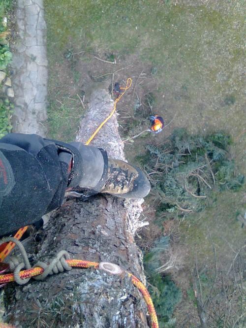Fældning af grantræ