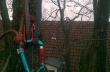 Kronepleje af elmetræ