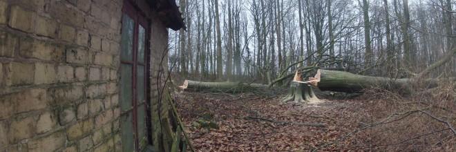 Indtrækning med wirespil. Fældning af bøgetræer i udkanten af Aarhus.