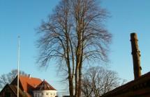 Reducering af lind i Viborg