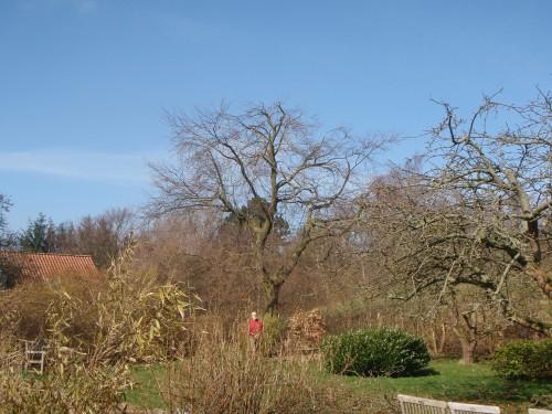 Krone reducering af bøge træ