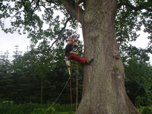 Beskæring - pleje - af gammelt egetræ