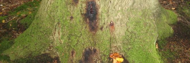 Bøgetræ angrebet af Phytophthora rodskimmel