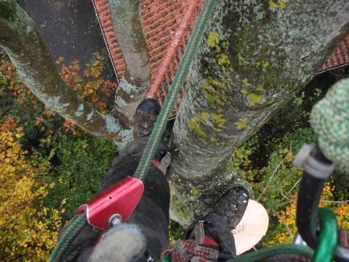 Fældning af asketræer med sygdommen asketoptørre samt honningsvamp i privat have i Højbjerg, Aarhus