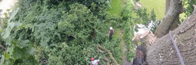 Fældning af gammelt egetræ ved hjælp af nedfiring. Dich Træpleje aps