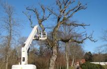 Sikkerhedsbeskæring af toptørt egetræ