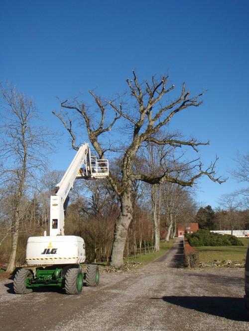 Sikkerhedsbeskæring af toptørt egetræ. Dich Træpleje aps
