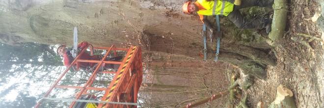 Træfældning bøgetræ Aarhus århus Østjylland kulsvamp. ETW certificeret træpleje. Dich Træpleje aps.