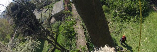 Træfældning i Brabrand Aarhus, Århus - Østjylland. Nedfiring med reb. Fældning af vanskelige træer. Dich Træpleje aps. ETW certificeret træpleje og træfældning.