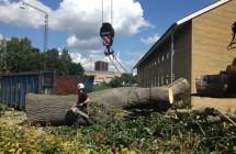 Fældning af stort poppel træ i Aarhus